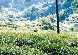 Tour To Tea Garden And Tropical Rain Forest