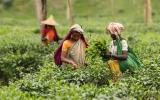 Tour To Tea Garden And Tropical Rain Forest Packages